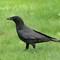 American Crow 2 Origwk1_MG_2964