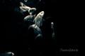 fish ballet