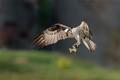 Osprey looking at its fish