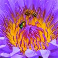 Water Lilly with Bees