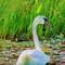 Swan & Flower Rye Pond