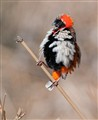 Moulting Red Bishop