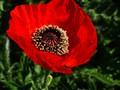 Poppy Flower,  DSC06839