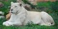 The rare white lion