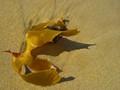 Yellow Kelp on Golden Sands