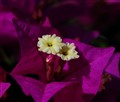Bougainvillea in the morning light