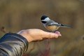 Bird on hand -Chickadee