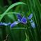 Iris at Pickrell Lake