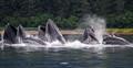 Humpback Whales in SE Alaska