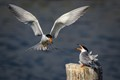 Terns Feeding-4396