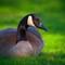 Canada Goose Relaxing