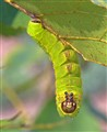 Luna Moth Caterpillar