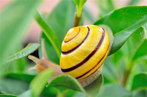Yellow Little Snail