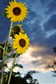 Sunflowers at at Sunset