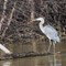 Great Blue Heron-2