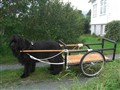 Newfoundland dog carting