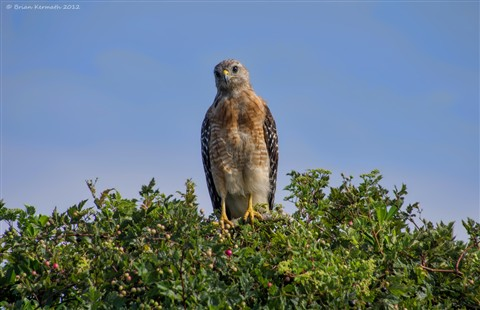 Red-shouldered hawk (Buteo lineatus) being inquisative