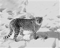Cheetah in Winter  Snow