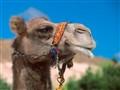 Turkish Camel