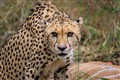Cheetah Warning