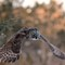 great grey owl flying low out of spruce