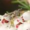 Fly - Coenosia sp., poss. testacea
