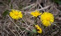 A Fresh Coltsfoot