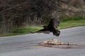 Turkey Vulture (Cathartes aura) in flight over coyote carcass (Canis latrans)