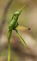 Pterostylis plumosa - Large Bearded Greenhood
