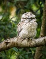 Tawney Frogmouth Chick