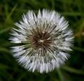 Intimate Dandelion