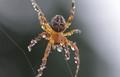 Spider n Pearls