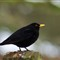 Blackbird130217