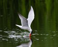 Caspian Tern washing its bill