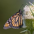 Just another Monarch