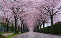 Cherry Blossom on a Rainy Day