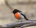Red-Capped Robin (Australian)