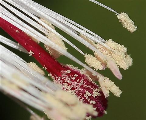 Christmas cactus Stamen @ 100%