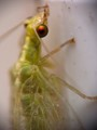Chrysopidae - 1cm long