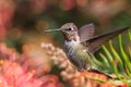They zip and zoom by that using my auto focus, it was more difficult to capture them. The lens I was using was having a hard time hunting for focus, so I turned it off and set to use manual focus instead. By the time I would find focus the hummingbird was gone, but I waited and kept on trying from the two thousand shots I took I did get a few keepers.