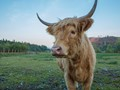 Gerta the Highland Cow