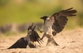 Fighting Hooded Crows