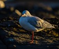 Silver Gull  at  sunrise