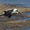 3-11-14 peliican sooc crop only flying 682 (1 of 1)