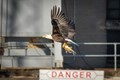 A bald Eagle carries away lunch from Petenwell Dam in Wisconsin.