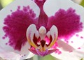 Phalaenopsis aquila