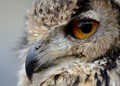 E is for Eye and Eagle Owl