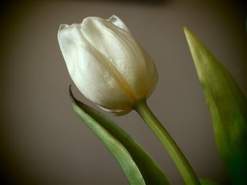 Tulip in Pinhole