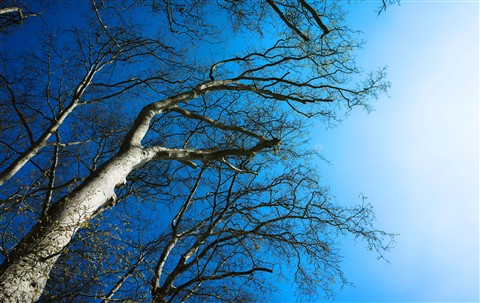 Versaille Trees