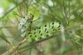Caterpilllar